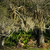 Spanish Moss and Palmetto