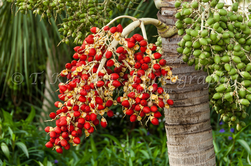 Red fruit of the palm tree on Marco Island, Florida, USA.