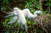 A Great Egret pair building a nest at the Audobon Bird Rookery in Venice, Florida, USA.
