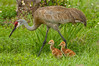 Sandhill Cranes: 5-Day Old Colts