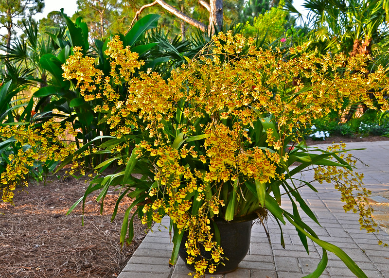 Oncidium sphacelatum orchid, one year later, May 2014.