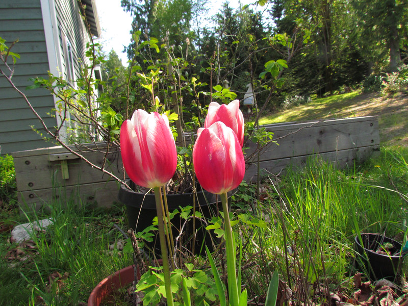 Red and White!  Tulips in a pot, about 14 years old.