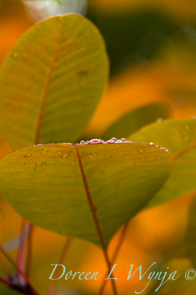 Cotinus Grace rain on leaves_1596