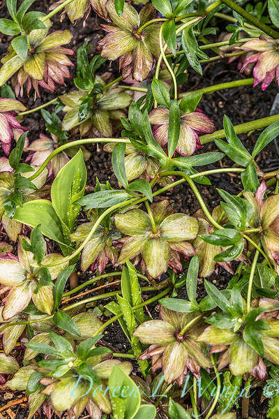 Helleborus Winter Jewels ™ 'Red Sapphire'_1915