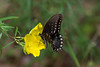 Papilio troilus, Spice-Bush Swallowtail on seedbox wildflower