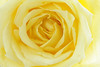 Elegant Full Frame Yellow Rose, Close up