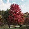Red maple in the front yard - fall 2009