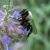 A Bumblebee on the Russian Sage.