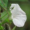 White Morning Glory in the Afternoon Rain