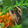 Buckeye Butterfly on the Orange Asclepias.