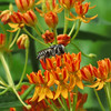 Black and White Bee on the Asclepias.