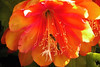 20131119_0800_4025 蜜蜂和昙花 bees and epiphyllum