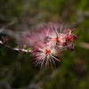 Fairy Duster - Calliandra eriophylla