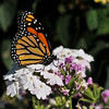 This male Monarch was born in my garden on June 24, 2015 and was sunning his wings on Verbena flowers after emerging from his chrysalis.