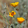 Honey Bees with California Poppies.