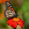 A Monarch Butterfly drinking nectar from a Mexican Sunflower. This photograph was a finalist in the Birds & Blooms magazine photography contest for December 2013.