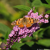 A Painted Lady Butterfly drinking nectar from a  Butterfly bush bloom