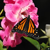 A female Monarch Butterfly drying her wings on an Iceberg rose. This beautiful Monarch was born in my garden on May 3, 2015.