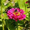 A Bumble Bee on a Zinnia bloom