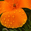 raindrops on poppy 1