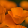 california poppy 2