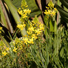 Bulbine Frutescens, perennial rhizomatous plants with succulent leaves