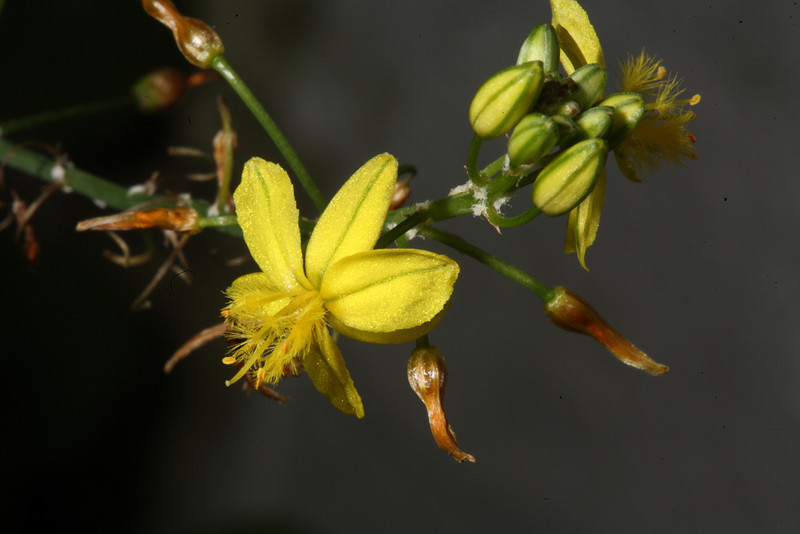 Bulbine frutescens, or stalked bulbine, is a vigorous, spreading plant, a self-seeding perennial, easily propagated from cuttings.