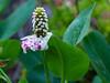 Yerba Mansa - Anemopsis Californica