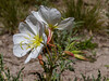 Antioch Primrose - Oenothera deltoides ssp. howelli