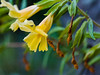 Southern Bush Monkey Flower -
