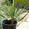 Unknown palm, Syagrus x Butia???