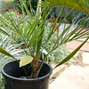 Unknown palm, Syagrus x Butia or ???
