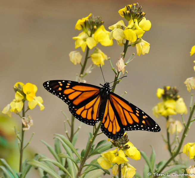 A male Monarch butterfly. This was one of the last photographs I took before the butterfly flew out of sight.