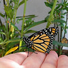 "A female Monarch Butterfly born in my garden on May 3, 2015. In this image, I am holding the butterfly to see if her wings are fully dry so that she can be released from her ""butterfly castle."""