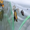 A female Monarch butterfly a few moments after she emerged from her chrysalis.  In the foreground is another Monarch ready to emerge and on the left side of the image is a male Monarch that is drying his wings.