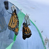A male Monarch butterfly just emerging from her chrysalis.  To her left is a male Monarch drying his wings.