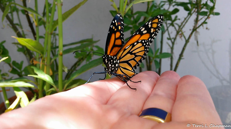"""A female Monarch Butterfly born in my garden on May 3, 2015. In this image, I am holding the butterfly to see if her wings are fully dry so that she can be released from her """"butterfly castle."""""""
