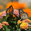 Two beautiful female Monarch Butterflies, resting on Lantana blooms, before they takes their first flight. These Monarchs were born in my garden on May 8, 2015, but the weather was cold that day, so they stayed safe in their mesh castle until the weather warmed up and then they were released.
