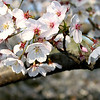 Close up of white cherry blossom flowers blooming