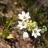 Ornithogalum thyrsoides, or chincherinchee