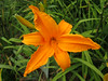 "Burning Daylight - Fischer H. A. 1957, 28"" midseason flowering, dormant, diploid, glowing orange self"