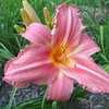 "Happy Hagar - Hagerstrom unregistered, 34"" Late season, deep rose with white midribs ruffled edge"
