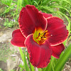 """Illini Pacesetter - Varner 1994, 36"""" scape, early midseason flowering, evergreen, tetraploid, 6"""" bloom, red self with green throat"""