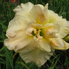 """Jean Swann - Joiner 1993, 32"""" scape, mid-late season flowering, semievergreen, diploid, fragrant, double, 6"""" bloom, yellow self with green throat"""