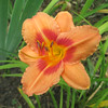 "Odd Fellow - Tanner 1969, 11"" scape, Early Midseason flowering, SEv, Dip, 3"" bloom, apricot sherbet with red eyezone"