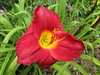 "Scarlet Orbit - Gates 1984, 22"" scape, early season flowering, evergreen, tetraploid, fragrant, 6"" bloom, red self, with chartreuse throat"