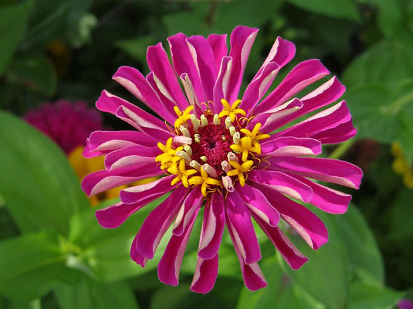 I like zinnias anytime but this color caught my eye and I had to get a picture of it.<br /> I like the depth of field in this and the focus I got on the flower.