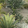 Encephalartos hybrid natalensis x horridus on left and Aloe Hercules towering above it.