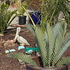 Encephalartos princeps still in pot, with Dypsis prestoniana palm and an Encephalartos horridus x woodii hybrid in the ground behind. 5/06/2015