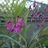 Dendrobium orchid plant with a few flowers and a lot more buds ready to open.